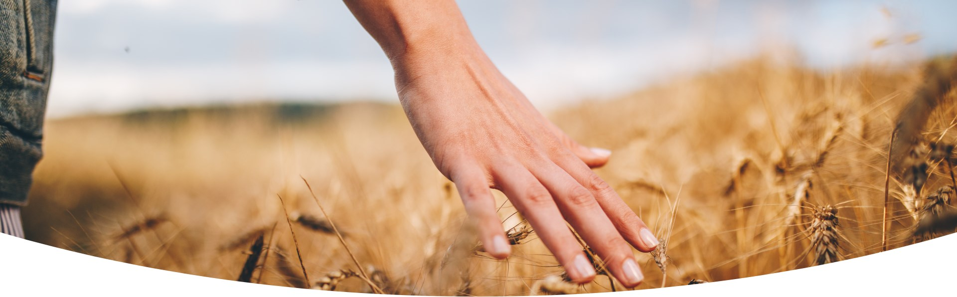 Woman's hand touches the stalks of corn in a cornfield.